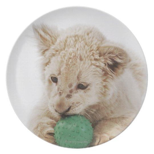 White lion cub (Panthera leo krugeri) playing Dinner Plate