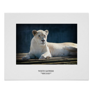 White Lioness Poster