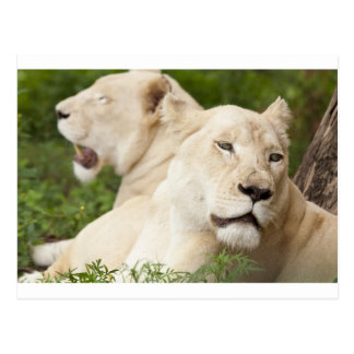 White Lionesses Postcard