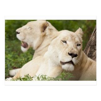 White Lionesses Postcard