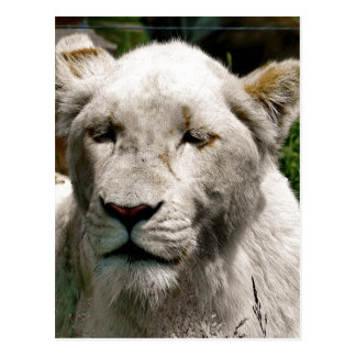 WHITE LIONS POST CARDS