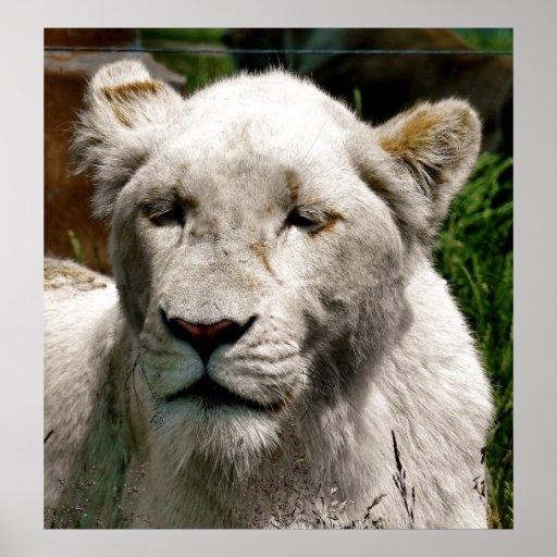 WHITE LIONS PRINT