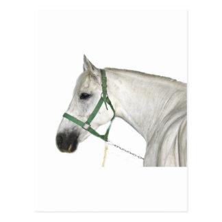 White Lipizzaner Horse Postcard