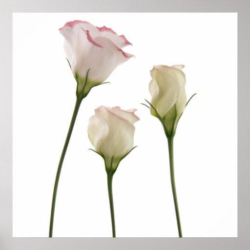 white lisianthus flowers, trio print