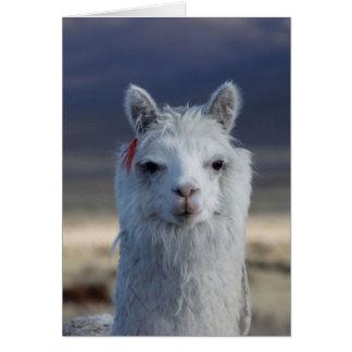 White Llama Alpaca Close up Head Profile Image Sho Card
