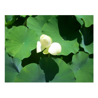 White lotus in a pond postcard