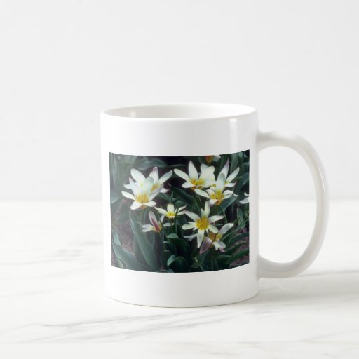white Magnificent Tulip, (Tulipa Kaufmanniana) flo Mugs
