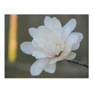 White Magnolia Centennial Postcard