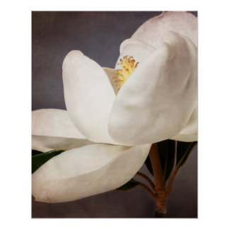 White Magnolia Tree Flower Floral Flowers Grey Poster