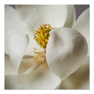 White Magnolia Tree Flower Floral Trees Flowers Poster
