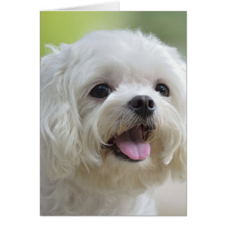 White maltese dog sticking out tongue card