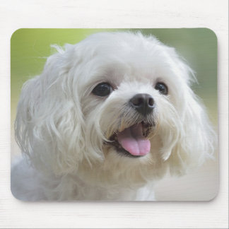 White maltese dog sticking out tongue mouse pad