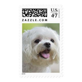 White maltese dog sticking out tongue postage