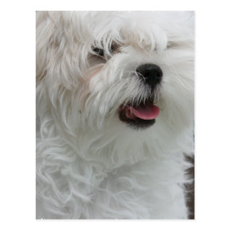 White Maltese Puppy Postcard