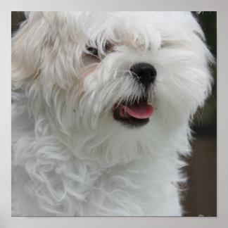 White Maltese Puppy Poster Print