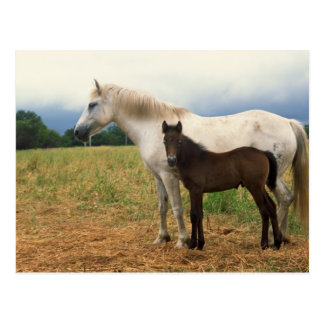 White Mare with Bay Foal Postcard