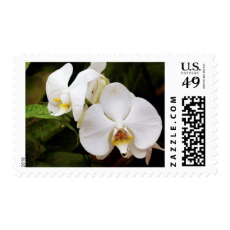 White Moon Orchid (Phalaenopsis Aphrodite) Postage
