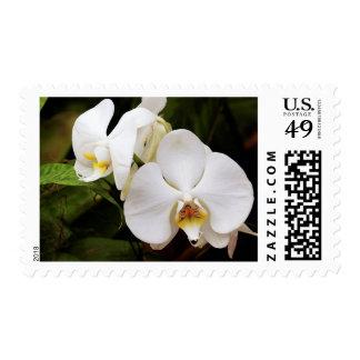White Moon Orchid (Phalaenopsis Aphrodite) Postage Stamp