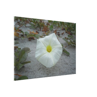 White Morning Glory on the Beach Canvas Print