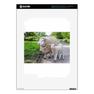 White mother sheep and lamb standing on road iPad 3 decal