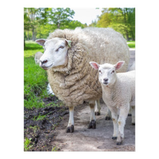 White mother sheep and lamb standing on road letterhead