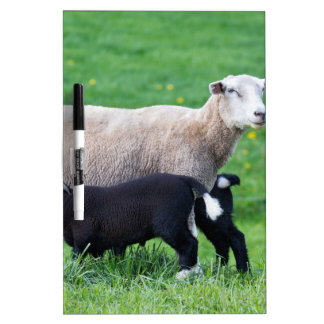 White mother sheep with two drinking black lambs Dry-Erase board