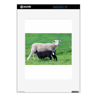 White mother sheep with two drinking black lambs iPad decals