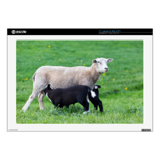 White mother sheep with two drinking black lambs laptop skins