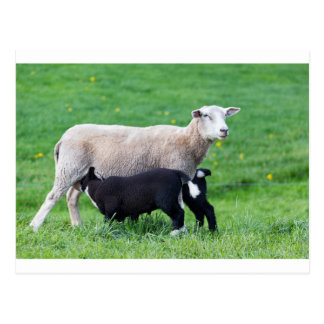 White mother sheep with two drinking black lambs postcard