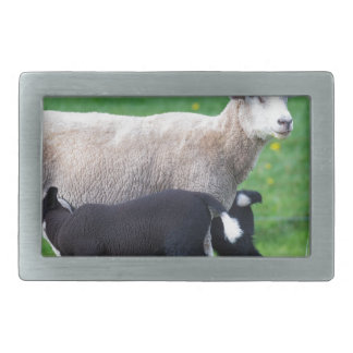 White mother sheep with two drinking black lambs rectangular belt buckle
