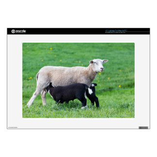 White mother sheep with two drinking black lambs skin for laptop