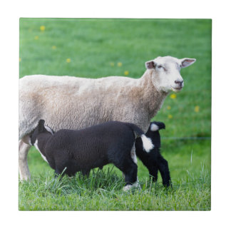White mother sheep with two drinking black lambs tile
