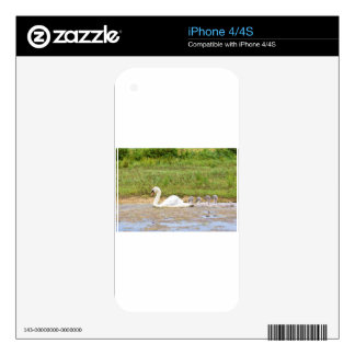 White mother swan swimming in line with cygnets decals for the iPhone 4