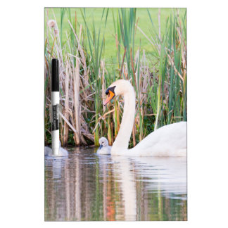 White mother swan swimming with chicks Dry-Erase board