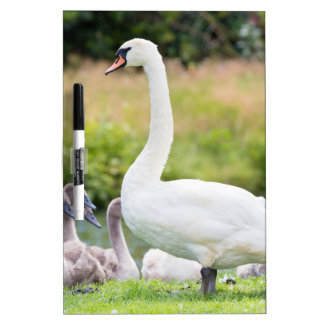 White mother swan with young chicks dry erase board