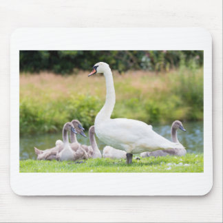 White mother swan with young chicks mouse pad