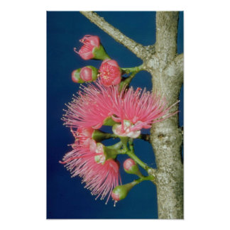 White Mountain apple (Eugenia malaccensis) flowers Posters