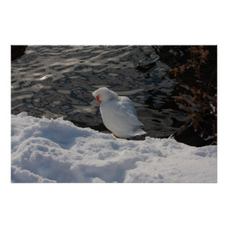 white Muscovy duck in the snow Poster