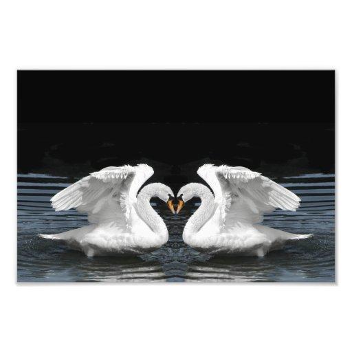 White Mute Swan Mirror Image Photo Print