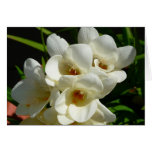 White Narcissus Blooms Blank Greeting Card