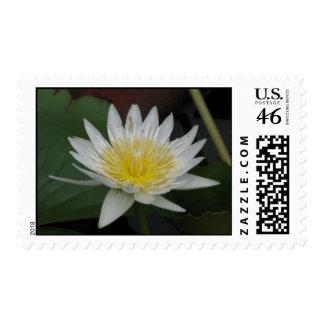 White Nymphaea WaterlilyFlower Postage