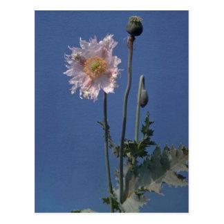 white Opium Poppy (Papaver Somniferum) flowers Postcard