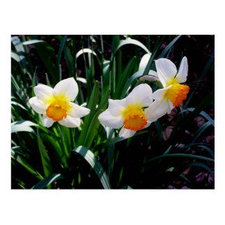 White, Orange and Yellow Daffodils Postcard
