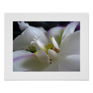 White Orchid 8 Phalaenopsis Poster Art Print Posters