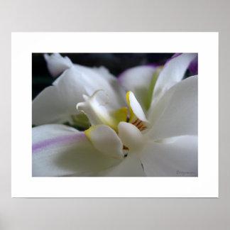 White Orchid 8 Phalaenopsis Poster Art Print