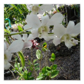 White Orchid clusters canvas Posters