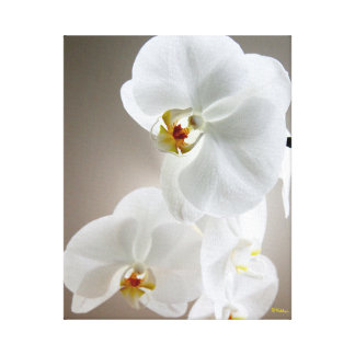 White Orchid in Bloom Canvas Wrapped Art