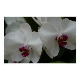 white orchids poster gift