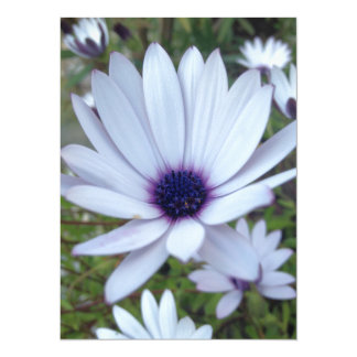 White Osteospermum Flower Daisy With Purple Hue Card