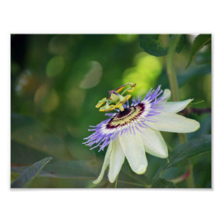 White Passion Flower Poster